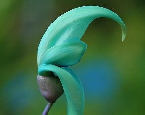 The Jade Vine, found in the Philippines. Top 10 rarest flowers in the world.