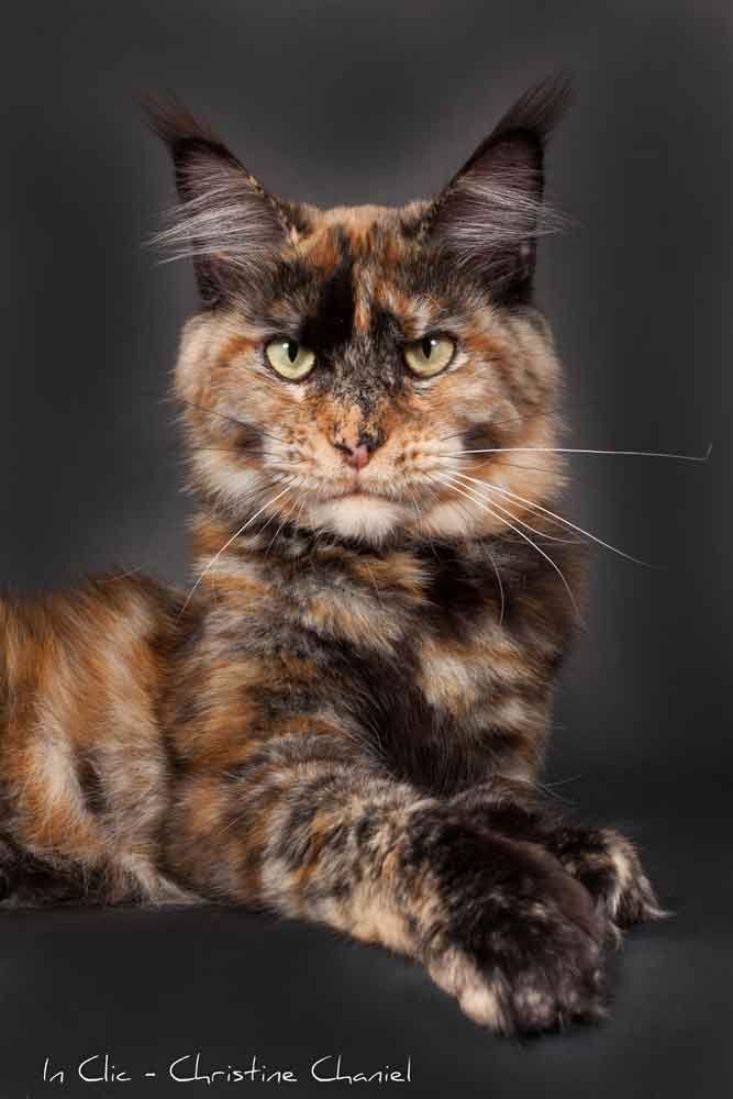 Chatterie de Saint Paul - Elevage de Maine Coon - Pension pour chat - Les femelles