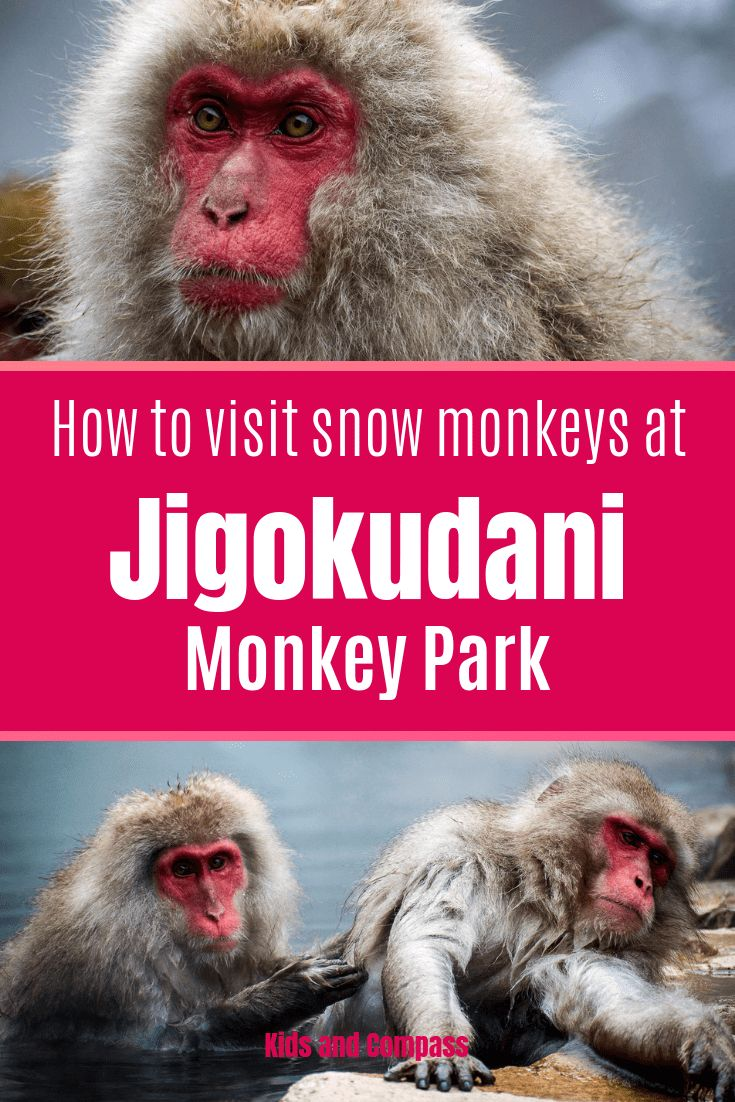 How to see Snow Monkeys at Jigokudani Monkey Park, Japan