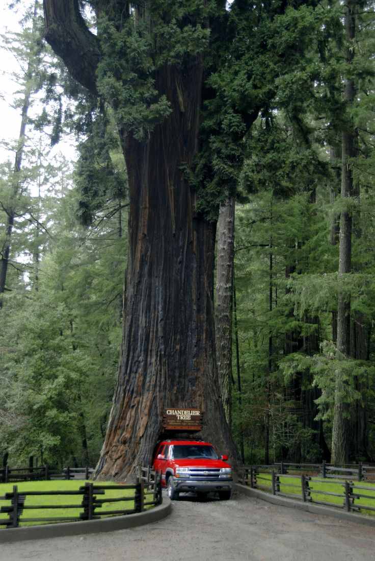 Full view of Chandelier Drive-Thru Tree.  En Route from Redwood National Park to San Francisco