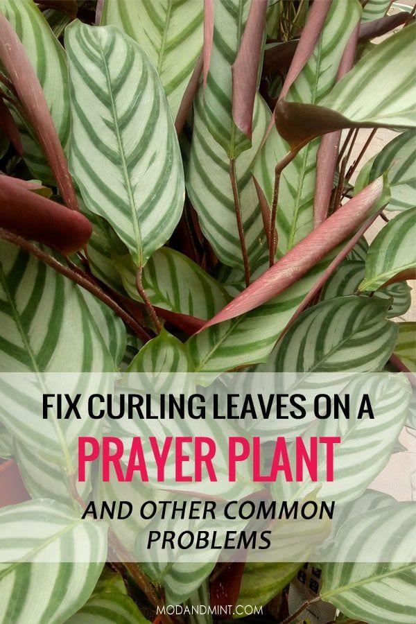 Indoor Prayer Plant Care Tips Keep Your Maranta Calathea Or Ctenanthe Alive Prayer Plant Care Prayer Plant Plant Care Houseplant