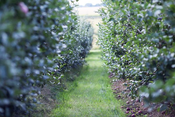Apple Orchards in Collingwood, Ontario
