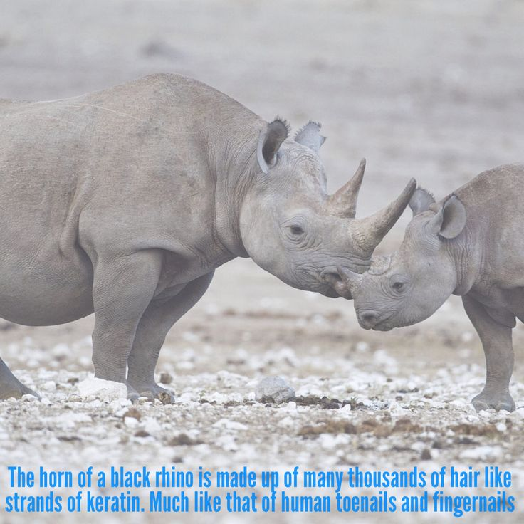 The horn of a black rhino is made up of many thousands of hair like strands of keratin. Much like that of human toenails and fingernails #animals #fact #facts #animalfacts #rhinos #rhino #wildlife #africa #africanrhino #africananimals