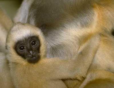Newborn Gibbon
