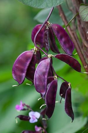Ruby Moon, purple bean climber, big in America. Grows like a vine over terraces…