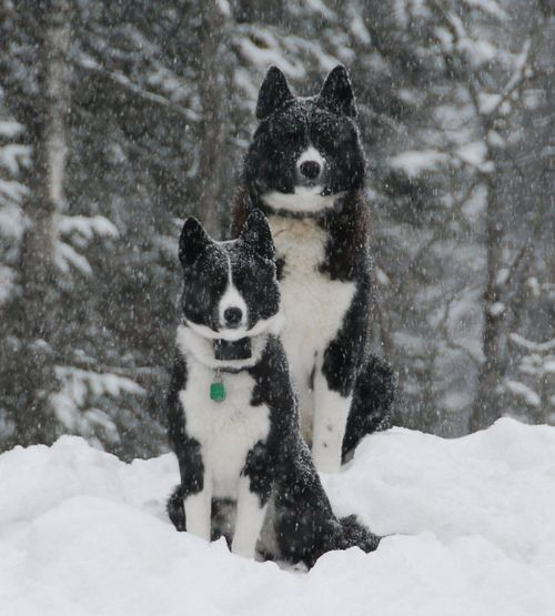 karelian bear dogkarelian bearhound
