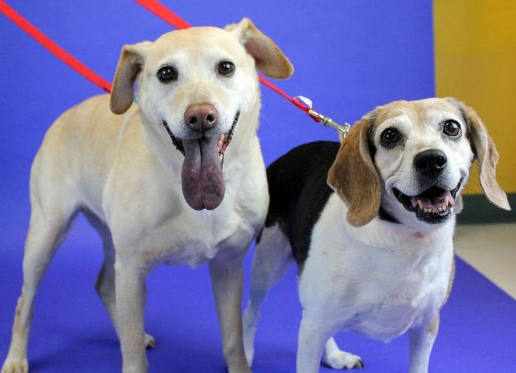 Iphy & Ollie is an adoptable Beagle searching for a forever family near Kansas City, KS. Use Petfinder to find adoptable pets in your area.