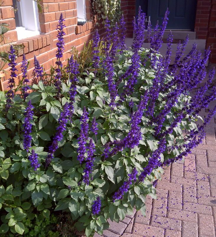 39 may night 39 salvia five 4 5 needed for front bed northeast corner of house landscape - Good flowering house plants ...