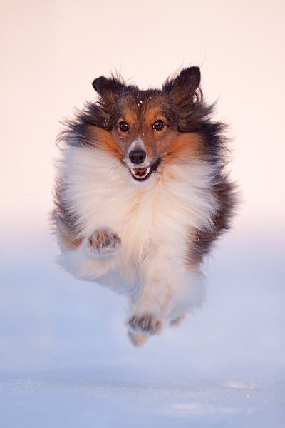 Shetland Sheepdog, fliegend im Schnee - Hundefoto, Hundebild, Foto, Bild | Belcani