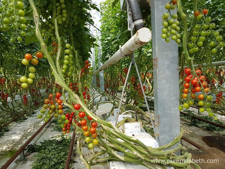A closer look at the cherry tomato plants growing inside the glasshouses at Eric Wall Ltd. In this picture you can see the F1 hybrid, grafted plants,…