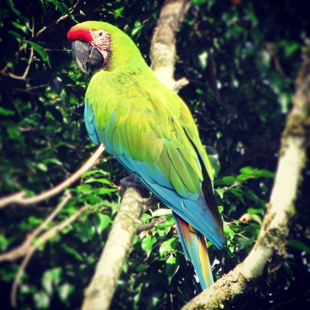 Great Green Macaw in Costa Rica by Laurie McLaughlin