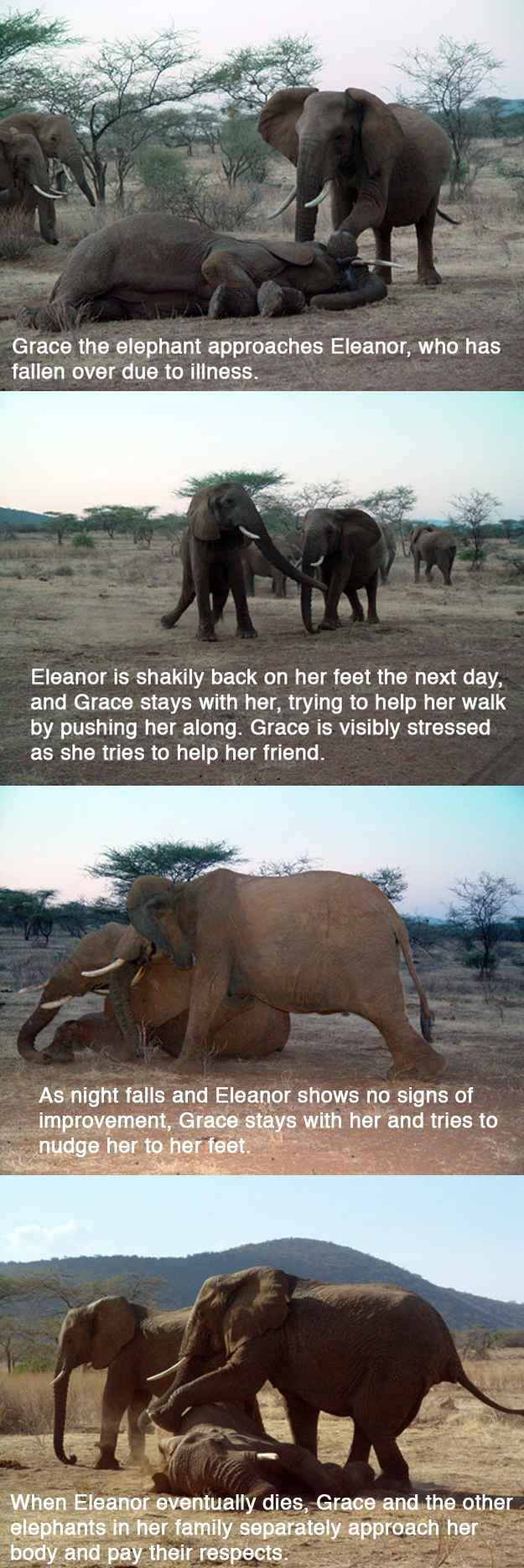 The powerful story of Grace the elephant's vigil over her friend who suffered from a snake bite: | 14 Pictures That Prove Animals Are Better Than People