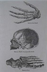 Back of the Hand. Human Skull cut perpendicularly. Human Foot | Sanders of Oxford