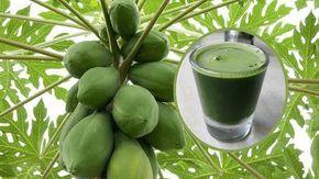 Cómo beber jugo de hoja de papaya para desintoxicar el hígado, revertir el hígado graso y detener el cáncer de hígado.