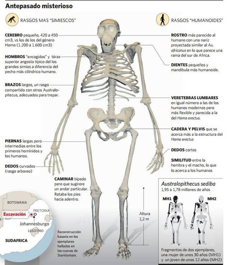 Australopithecus sediba (especie del Australopithecus) una mezcla de características lo acercan tanto a Homo como a Australopithecus y algunos paleontólogos lo ubican como el antepasado directo más factible de los humanos. Tiene solo 2 millones de años, por tanto es el Australipithecus más reciente.