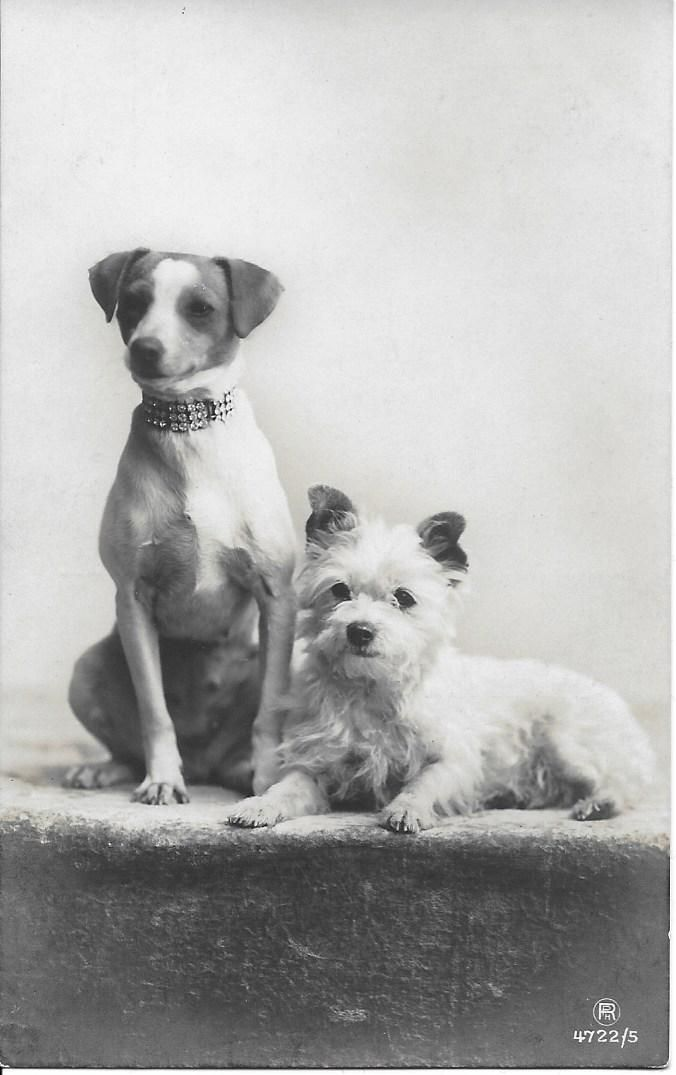 JACK RUSSELL TERRIER w strass collar n WESTIE dogs old photo postcard