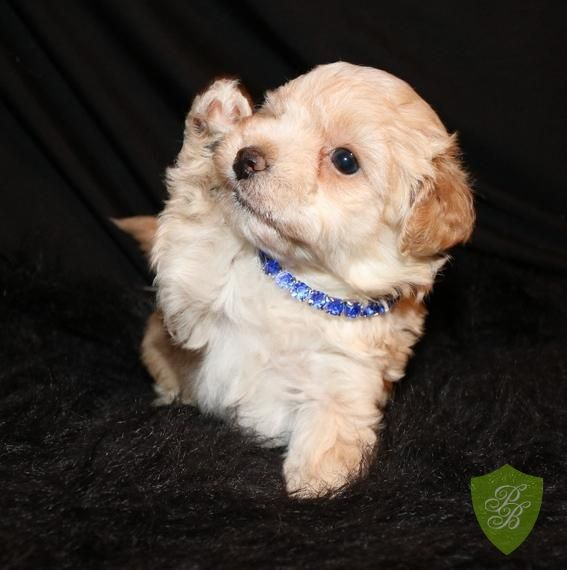 Puppies for Sale - Massachusetts Maltipoo Breeders