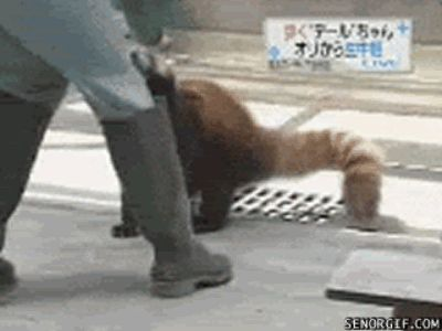 The 27 Best Red Panda GIFs Of All Time