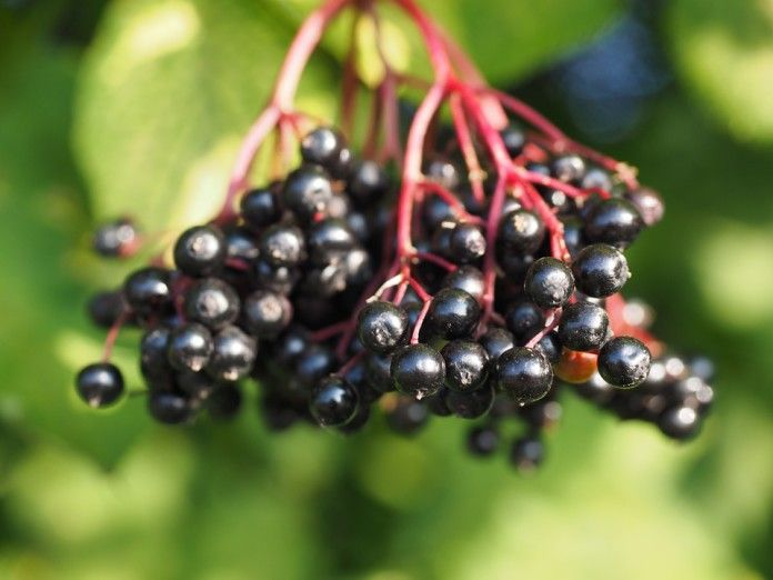 Elderberry syrup for allergies, cough, cold and flu