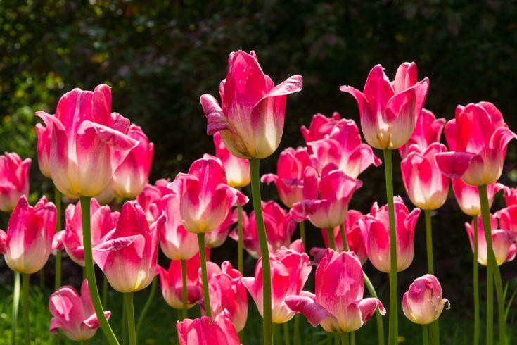 Фото тюльпанов в хорошем качестве и высоком разрешении – можно скачать бесплатно. Фотографии тюльпанов разного цвета – розовые, красные, фиолетовые.