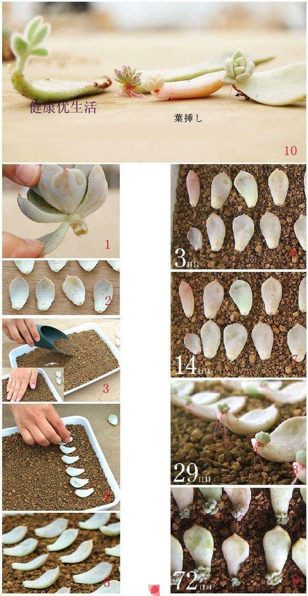 Una de las formas más sencilla de reproducir crasas / suculentas