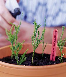 How to propagate conifers - Canadian Gardening  Don't expect a high rate of success, make lots of cuttings!