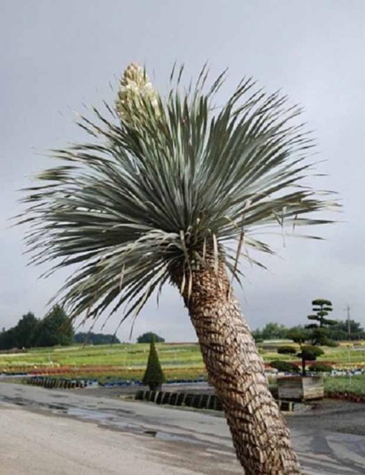Les 25 meilleures id es de la cat gorie yucca rostrata sur for Yucca exterieur rustique