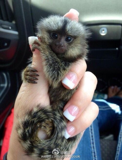 "Pygmy marmosets; ""finger monkeys"""