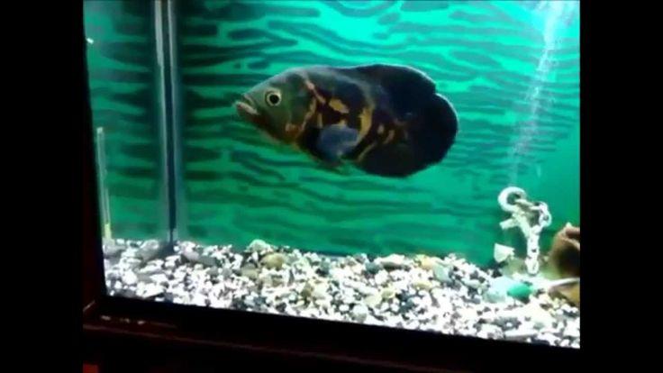 Tiger Oscar Fish Care - Food, Facts, & Behavior