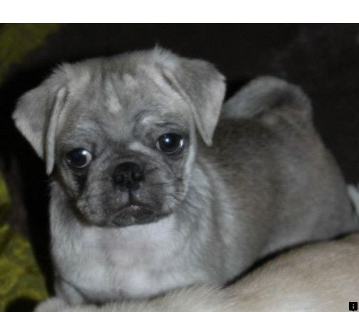 Visit The Webpage To Learn More On Black Pug Puppies For Sale Near