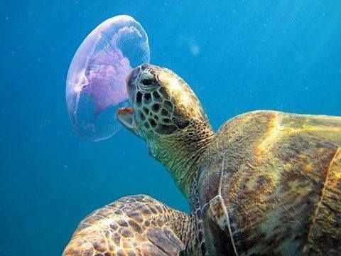 Image result for sea turtle eats jelly