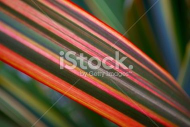 Sunlit Harakeke Leaves (NZ Flax) Royalty Free Stock Photo