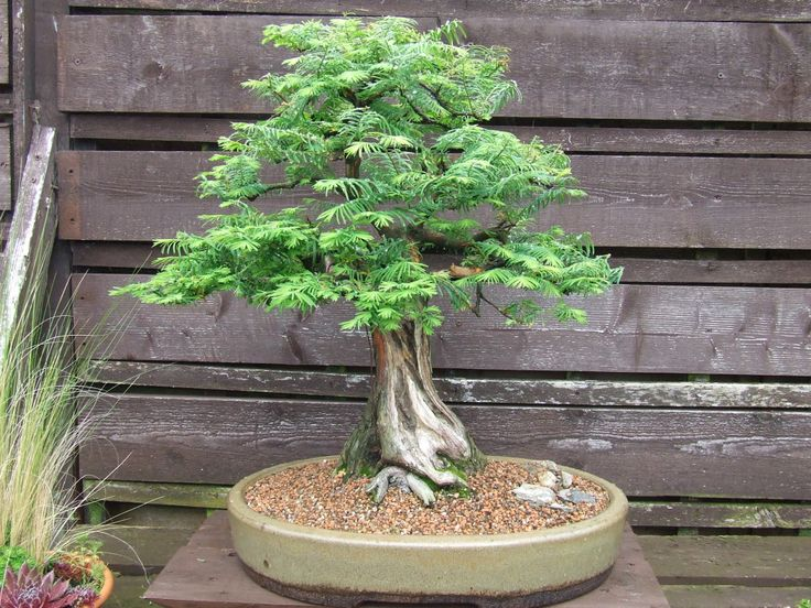 The Strange Tale of the Dawn Redwood During the what was formerly called the Tertiary period (66 million to 2.58 million years ago), it would have been hard to miss the Dawn Redwood (Metasequoia...