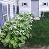 Hosta 'Aphrodite' (Hosta plantaginea), large--backyard under deck