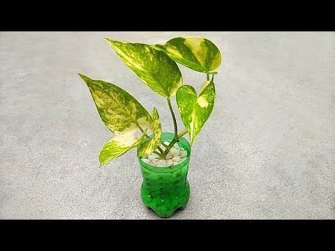 Grow money plant in small pot | Grow plant without soil – YouTube – Kertészkedés