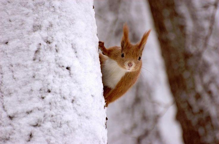 Da Eichhörnchen keinen Winterschlaf halten, sind sie im Winter dankbar für jede Futterstelle