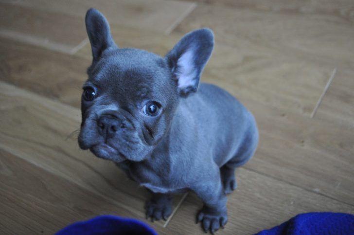 The Domestic Dog Blue French Bulldog The Blue French Bulldog