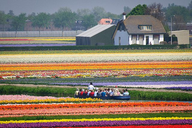 Pemandangan Indah Taman Bunga Tulip Bunga Tulip Pemandangan Taman Bunga