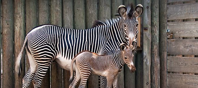 Lincoln Park Zoo needs your help to name their new little colt. Click through to help choose a name for the zebra!