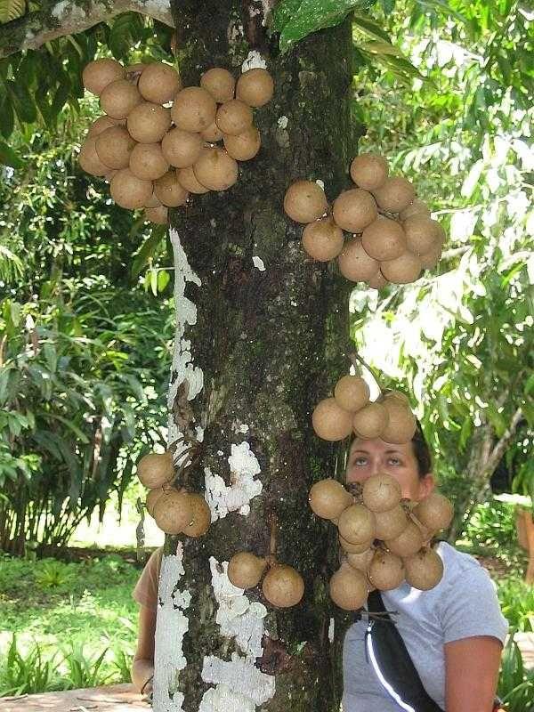 Buah Kepel (Stelechocarpus burahol) kegemaran Puteri Keraton di Pulau Jawa pada zaman dulu kini merupakan salah satu tanaman langka di Indonesia