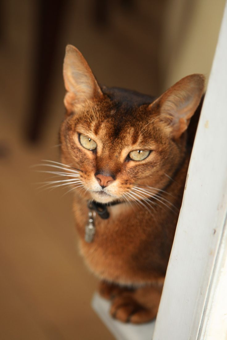 100+ ideas to try about Abyssinian Cats | Cats, Zen and Animal ...