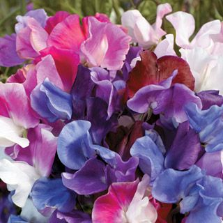 Sweet Pea Melody Mix. I like sweet peas. I don't have enough sweet peas.Outdoor, Peas Melody, Mixed Sweets, Gardens, Peas Seeds, Flower Seeds, Melody Mixed, Sweets Peas, Sweet Peas