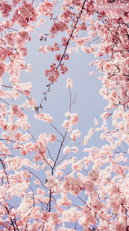 cherry blossom wallpaper free mobile
