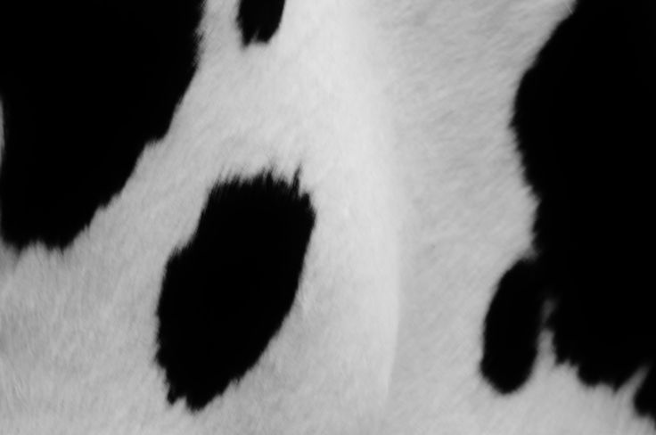 Cows, white and black, photo by Bridget Henning 2016