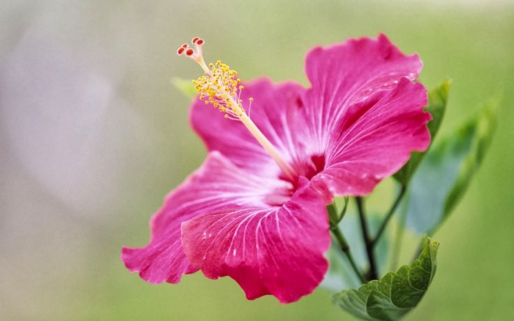 Love the idea of a water color tattoo of a Hibiscus flower