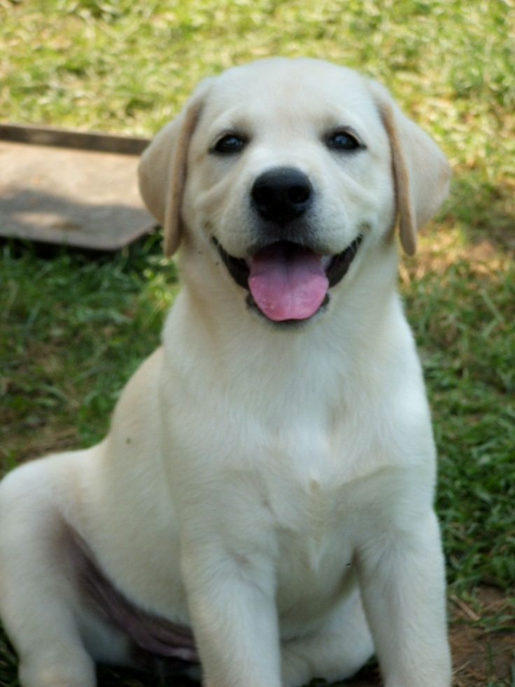 Yellow lab puppy #yellowlab #puppy #cute ...........click here to find out more http://googydog.com