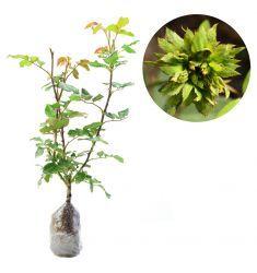 Green Rose Rp 85,000