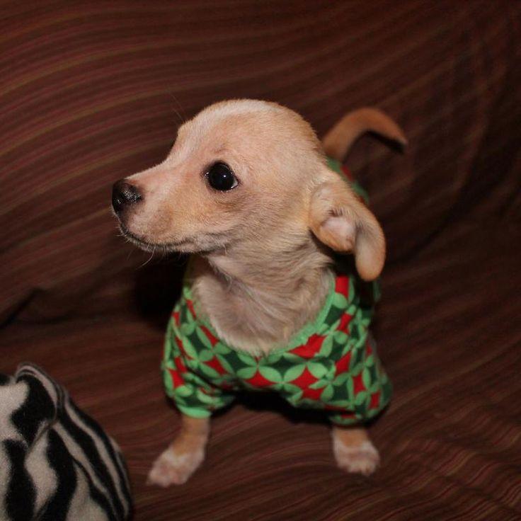Small Dog Rescue Nc