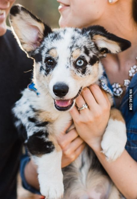 Cardigan Corgi!     The Cardigan Welsh Corgi (Cardigan, CWC, Cardi) is 1 of 2 separate dog breeds known as 'Welsh corgis' that originated in Wales, the other being the 'Pembroke Welsh Corgi.' It's one of the oldest herding breeds.  They can be extremely l