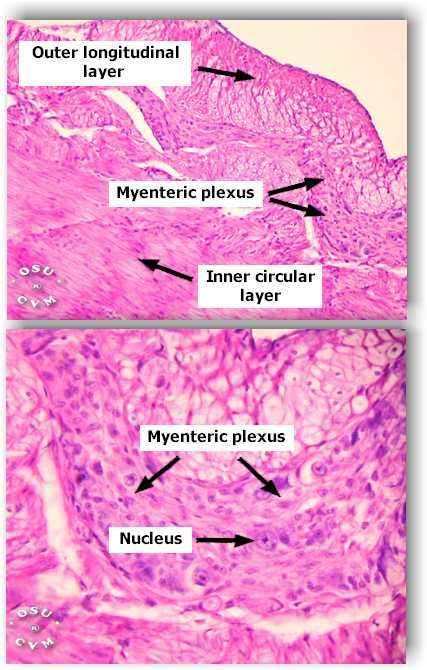 40 best Histology - Stomach images on Pinterest | Anatomy ...